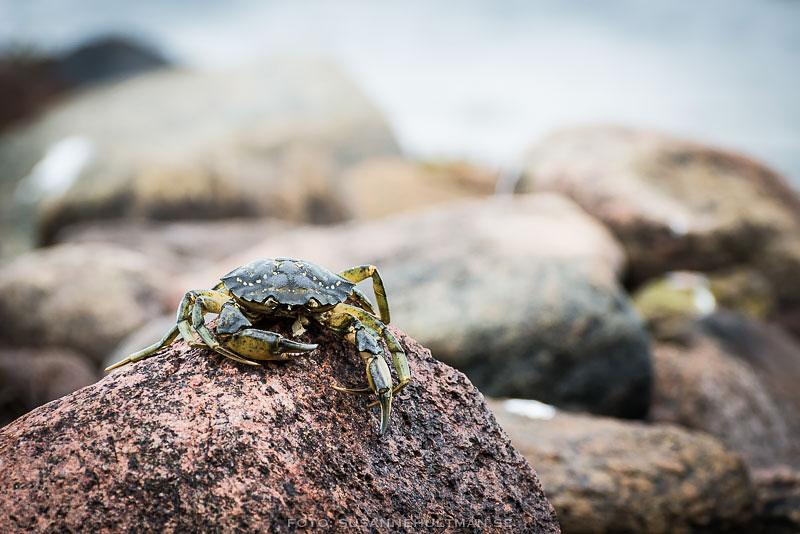 Död krabba på en sten