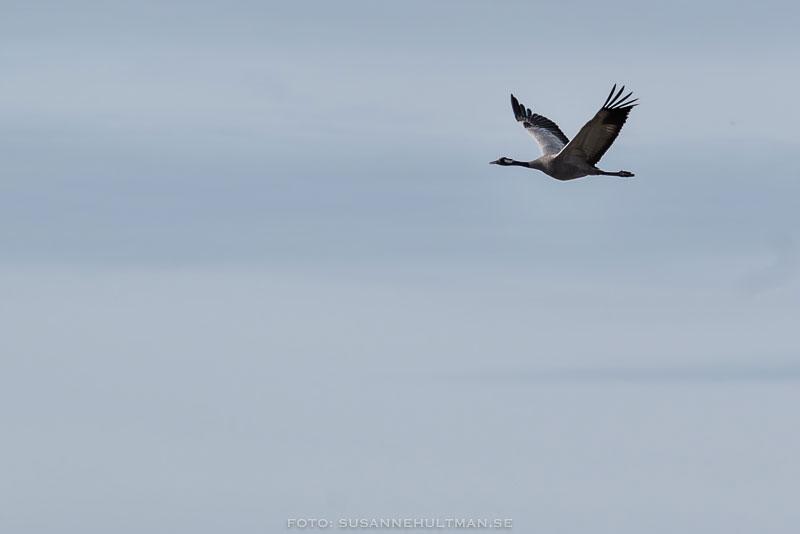 Flygande trana mot blå himmel