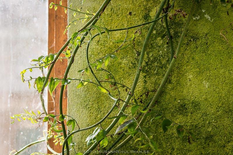Slingerväxter vid fönster
