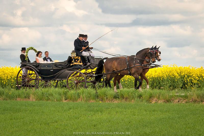 Bröllopspar i häst och vagn
