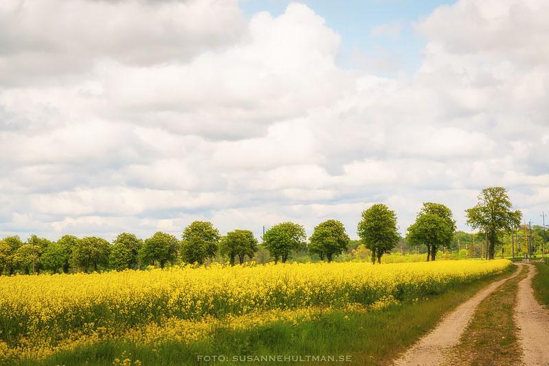 Trädallé och gult rapsfält