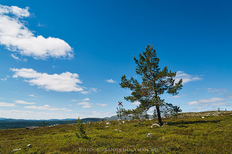 Ensamt träd och blå himmel