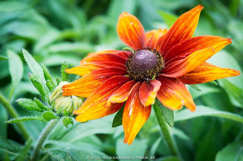Gulorange blomma