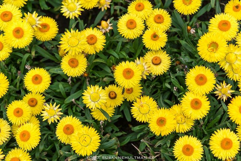 Många gula blommor