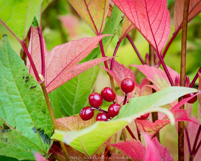Röda bär bland röda löv