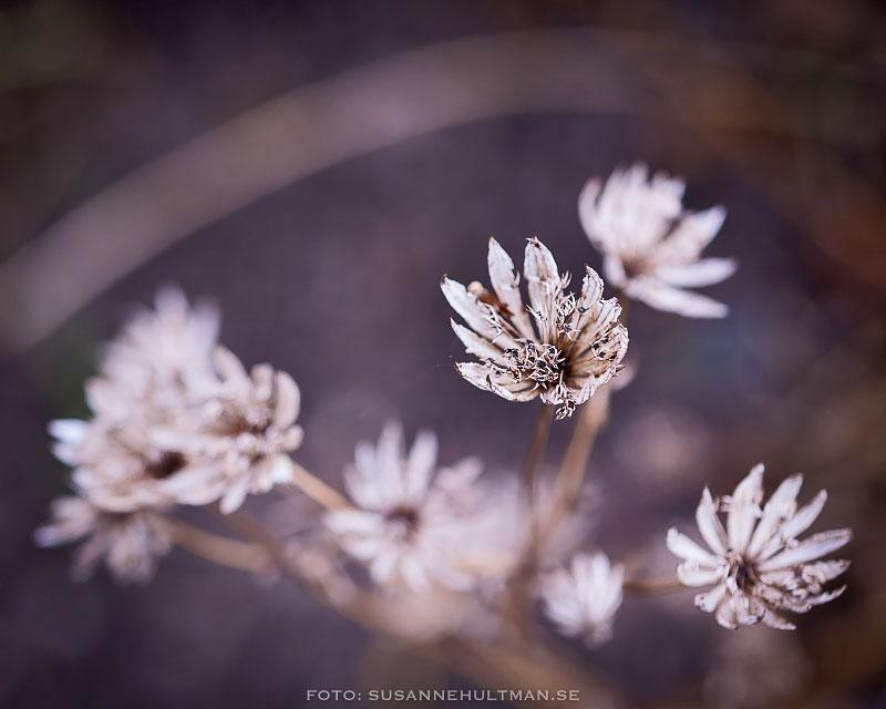 Ljuslila blommor