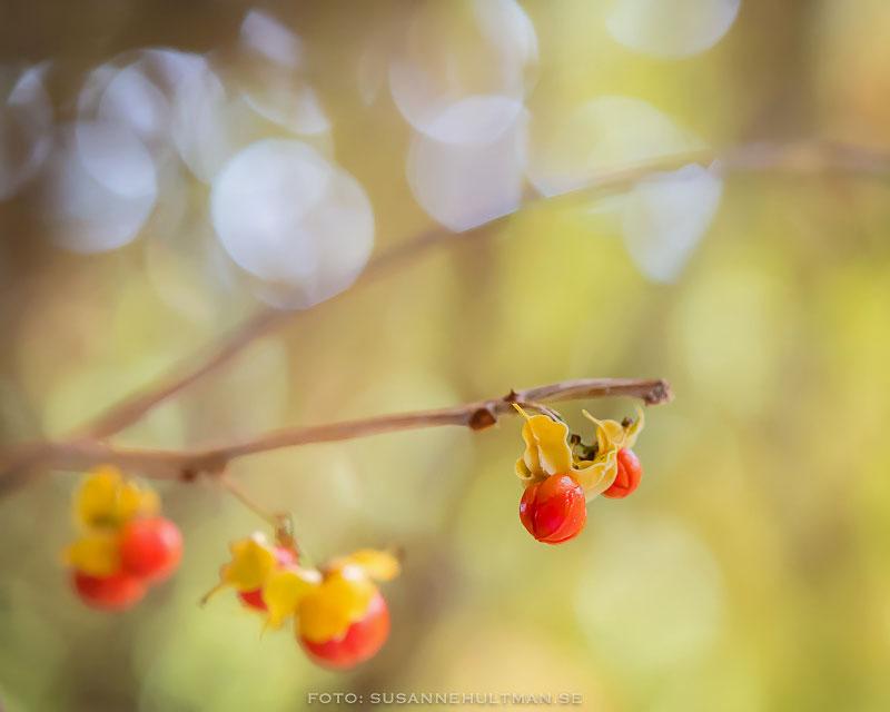 Röda bär bland gulgröna löv