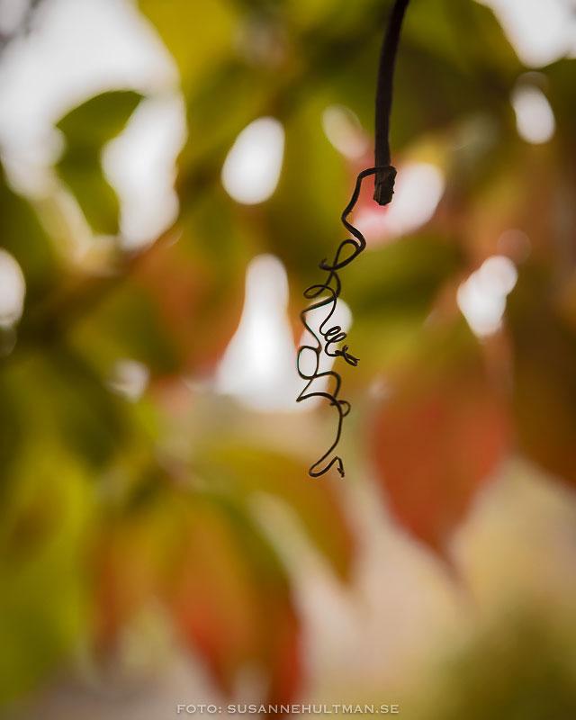 Trollhassel med hängen