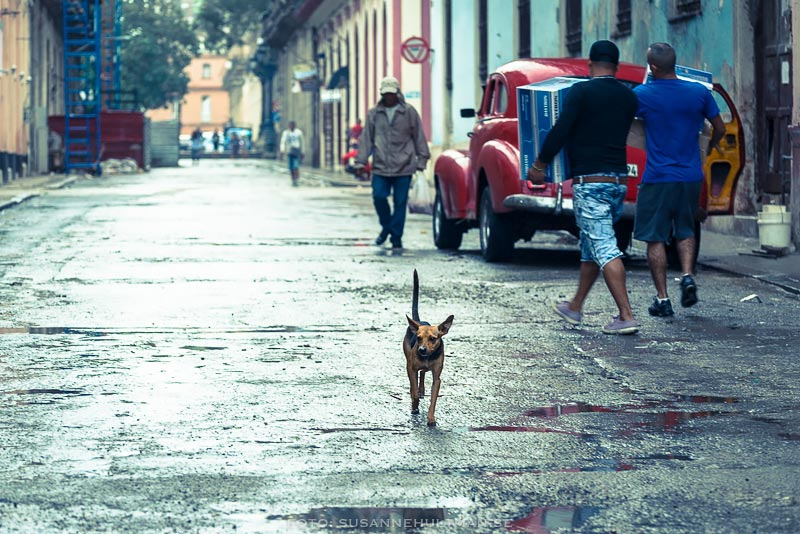 Ensam hund i regn