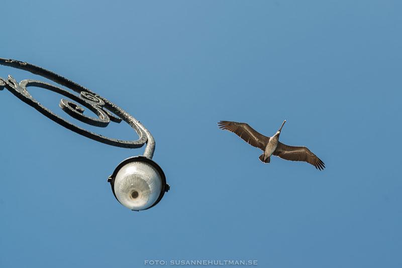 Gatlampa och pelikan mot blå himmel