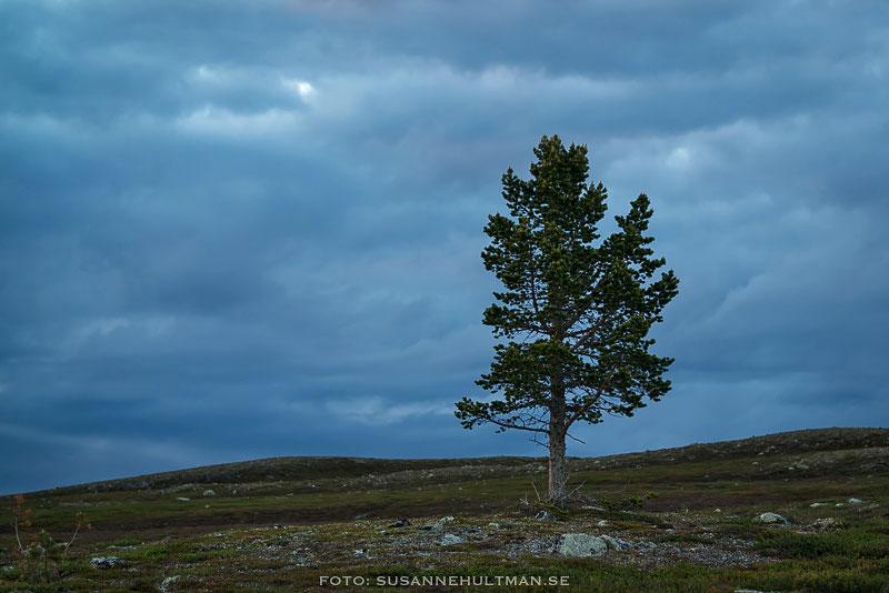 Ensamt träd i blå timmen.