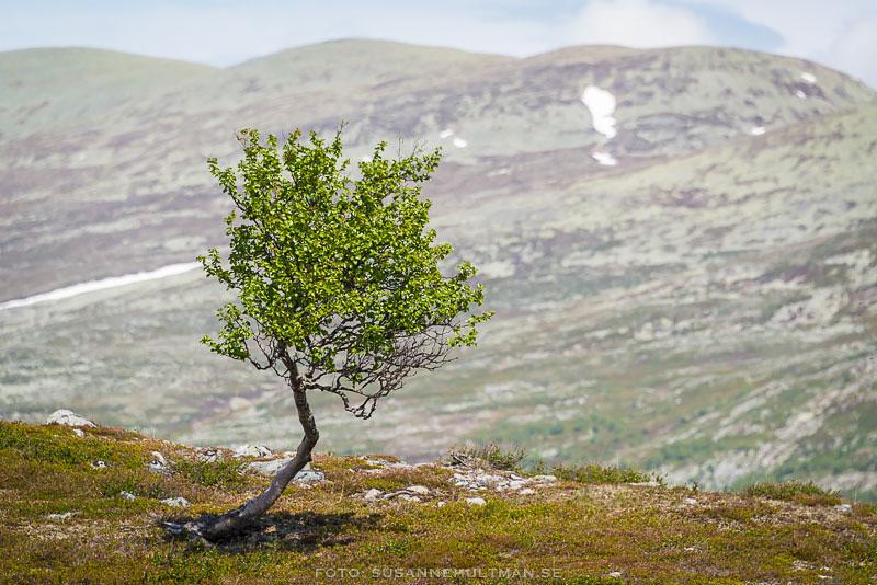 Träd och fjäll