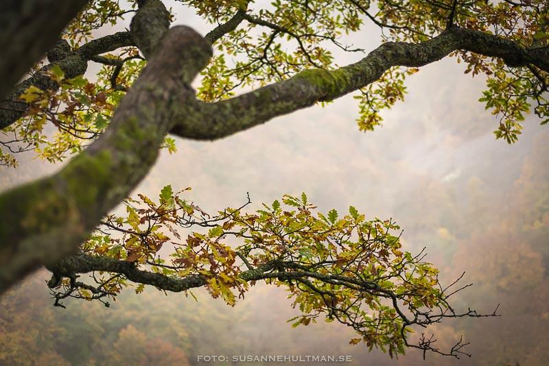 Trädgren mot dimma