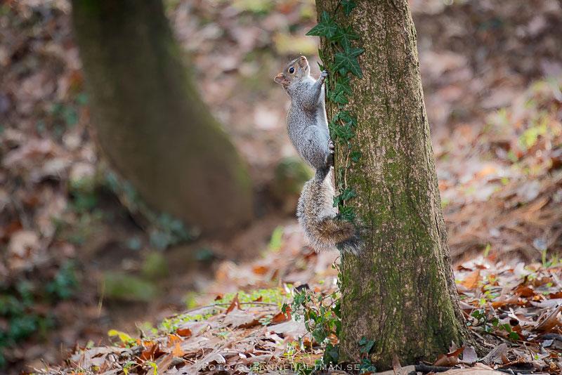 Ekorre springer uppför trädstam