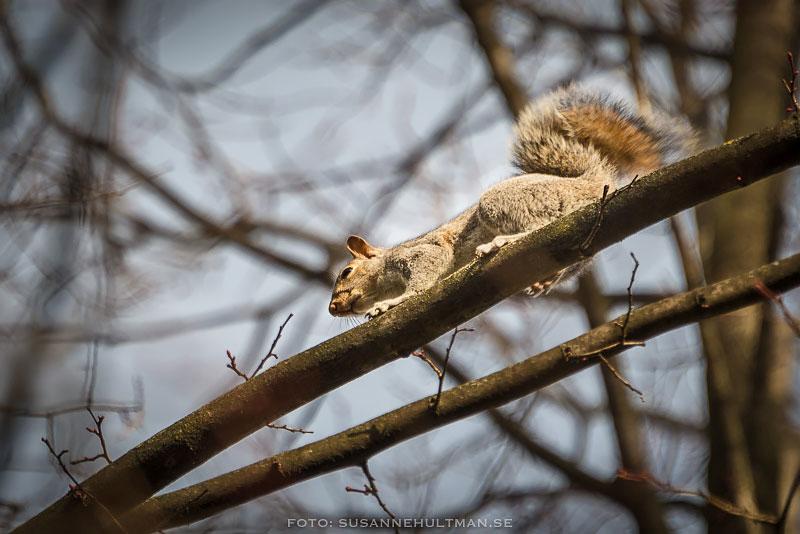 Ekorre springer på gren
