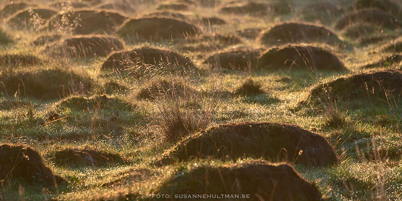 Gräs i motljus