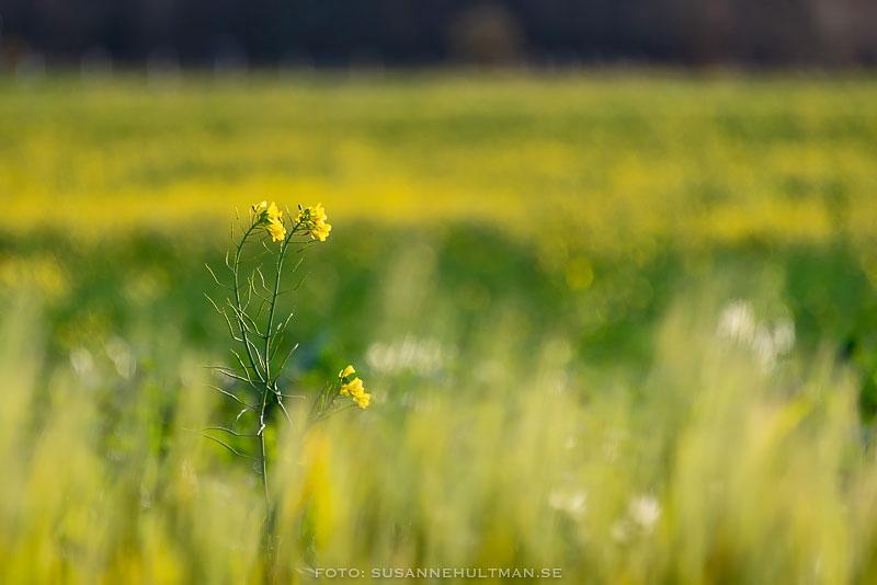 Rapsblommor mot gult fält