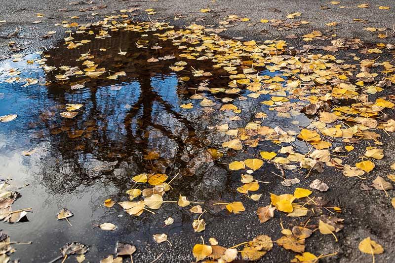 Vattenpöl med löv och spegelbild av träd
