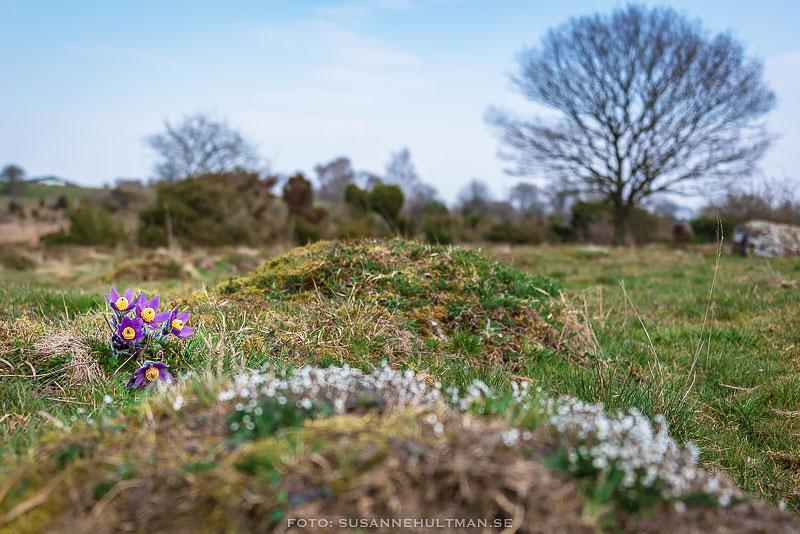 Backsippor i sikte bakom små vita blommor