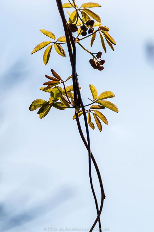 Två grenar med blad som slingrar sig runt varandra.