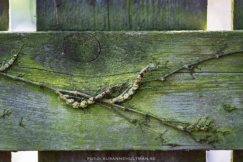 Grön växtlighet på staket