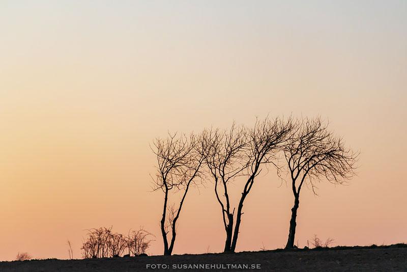 Tre träd mot orange himmel