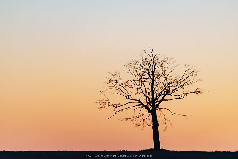 Trädsilhuett mot orange himmel