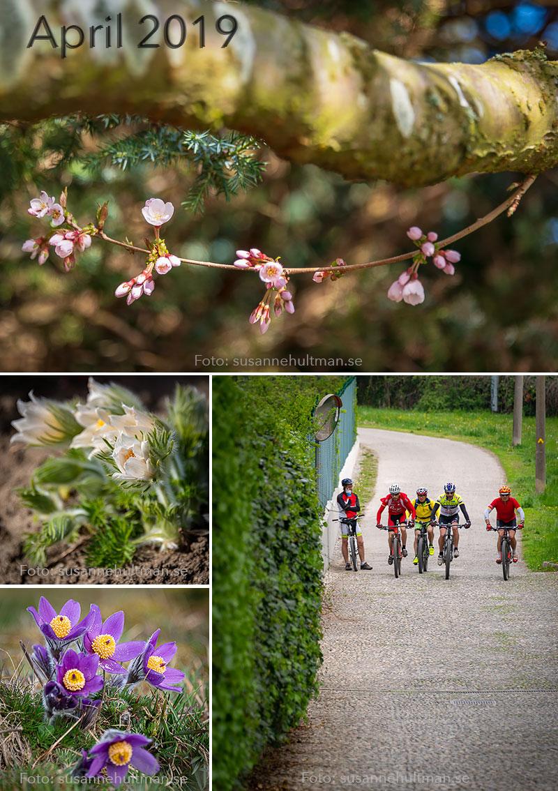 Blommande krsbärsblommor och backsippor och cyklister.