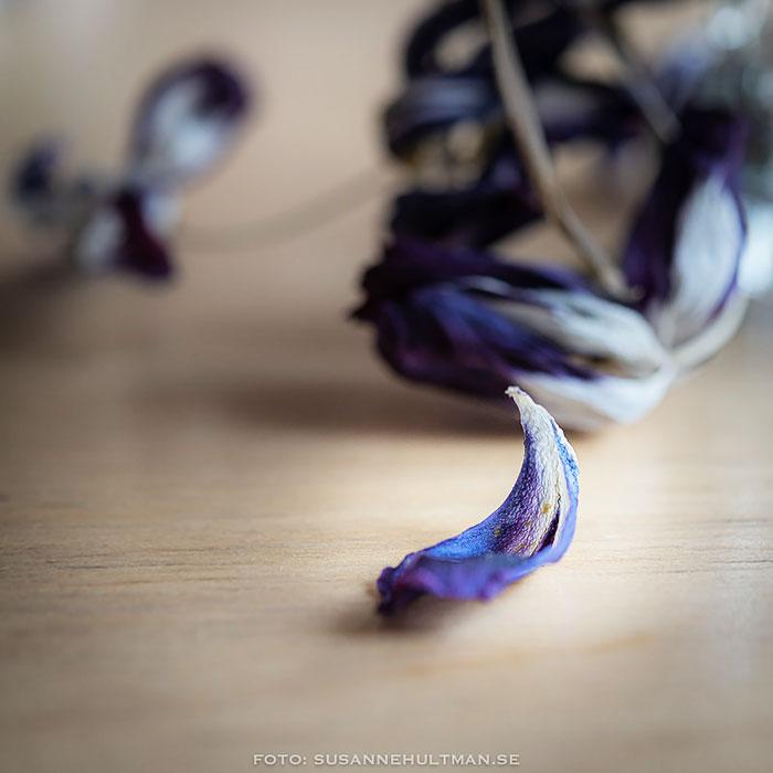 Kronblad från vissna tulpaner