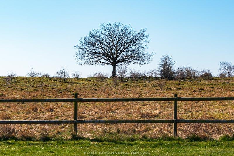 Ensamt träd innanför staket