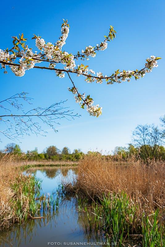 Kvist med blommande fågelbär ovan vatten