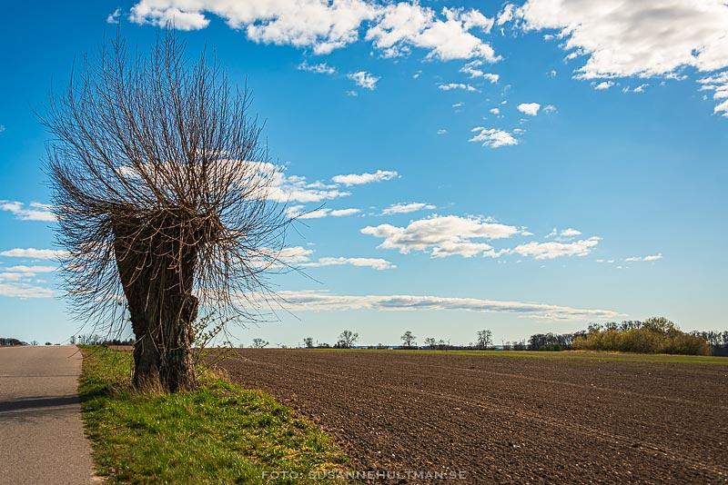 Pilträd vid landsvägen