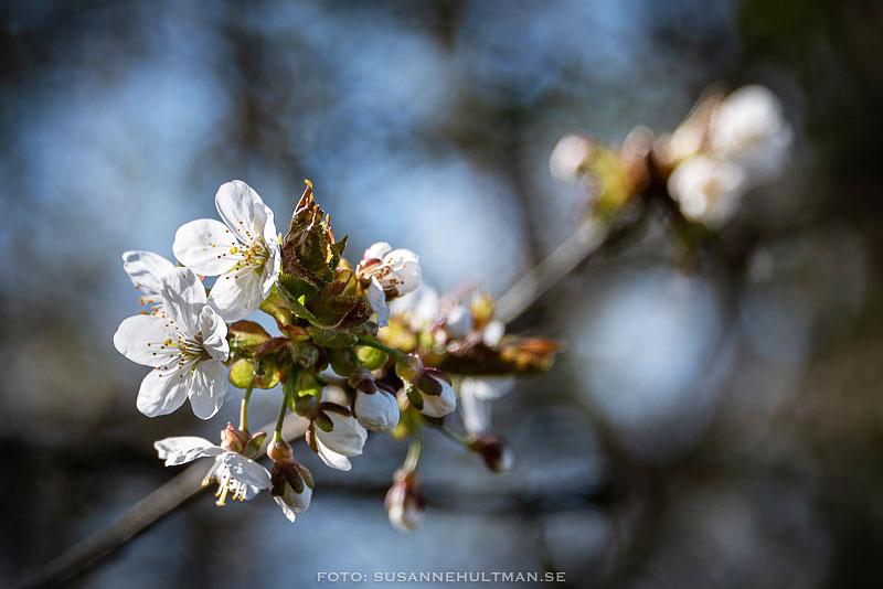 Vita körsbärsblommor på gren.