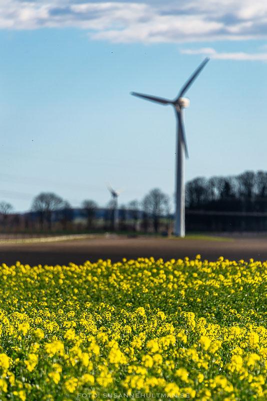 Gult rapsfält med vindkraftverk i bakgrunden