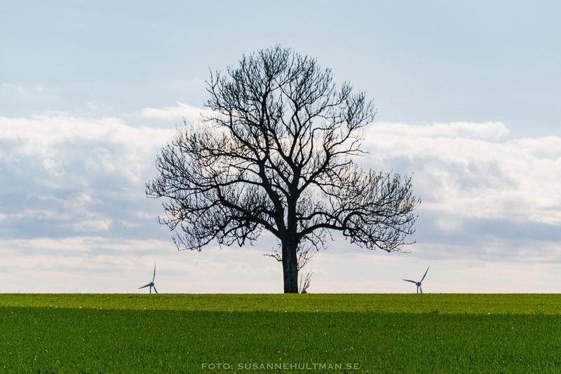 Träd omgivet av två vindkraftverk.
