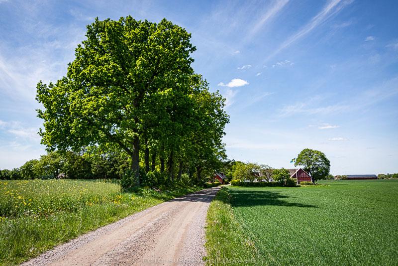Grusväg med träd och blå himmel.