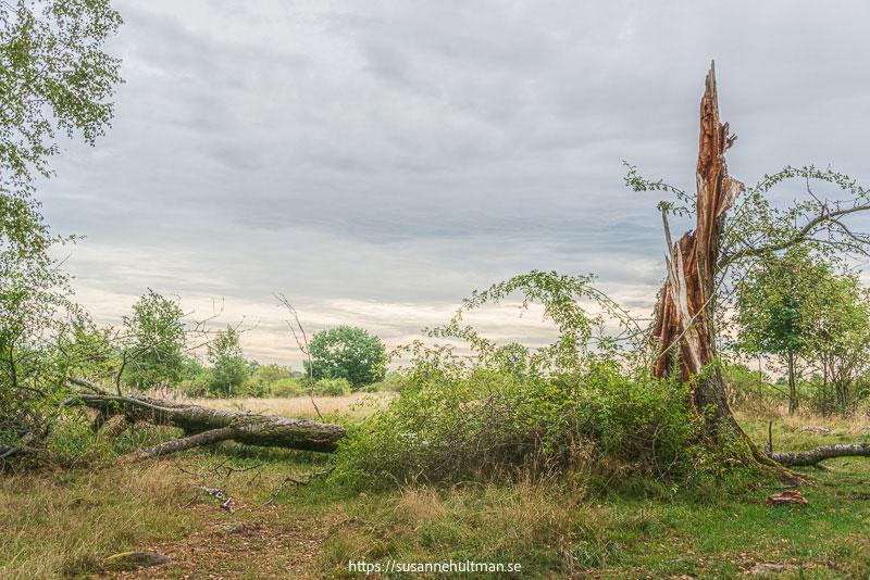 Liggande trädstam bredvid en död stående trädstam