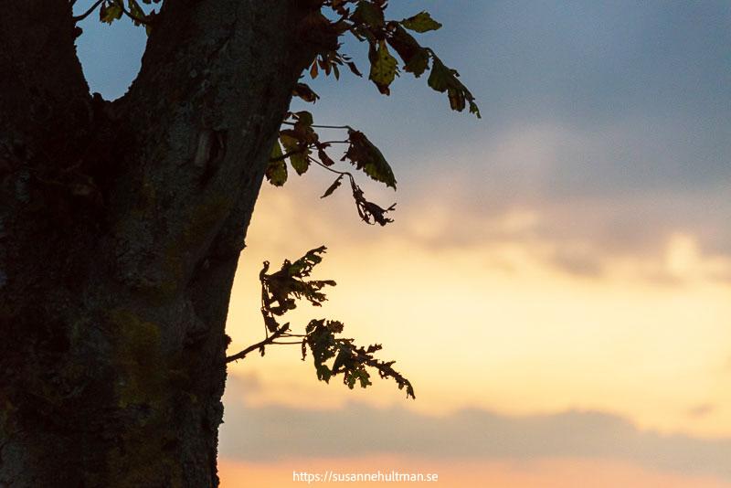 Del av trädstam mot en solnedgång