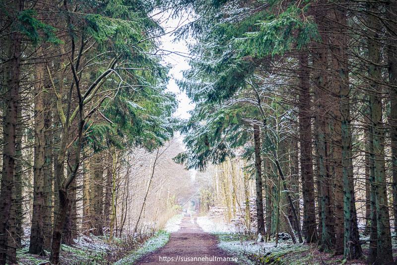 Grusväg genom granskog med väldigt lite snö.