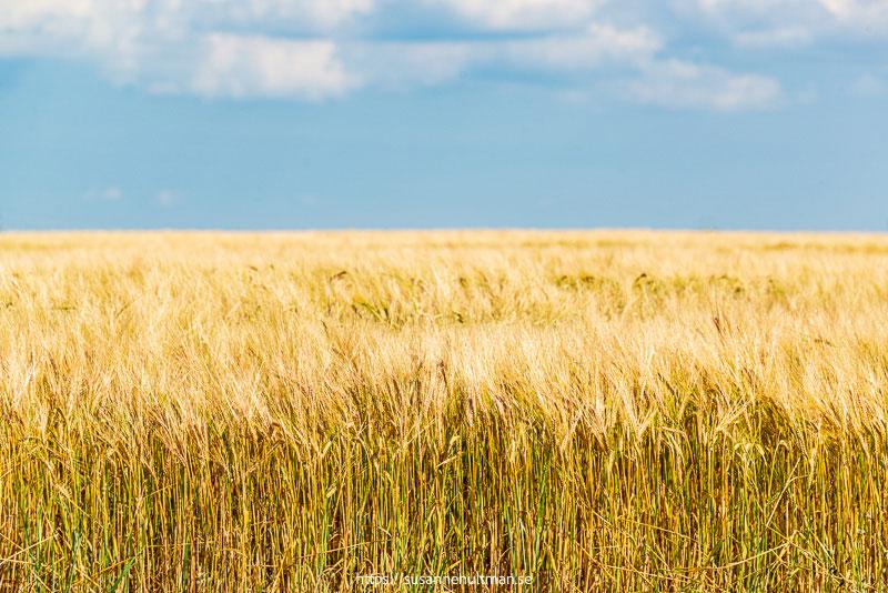 Moget korn mot blå himmel.