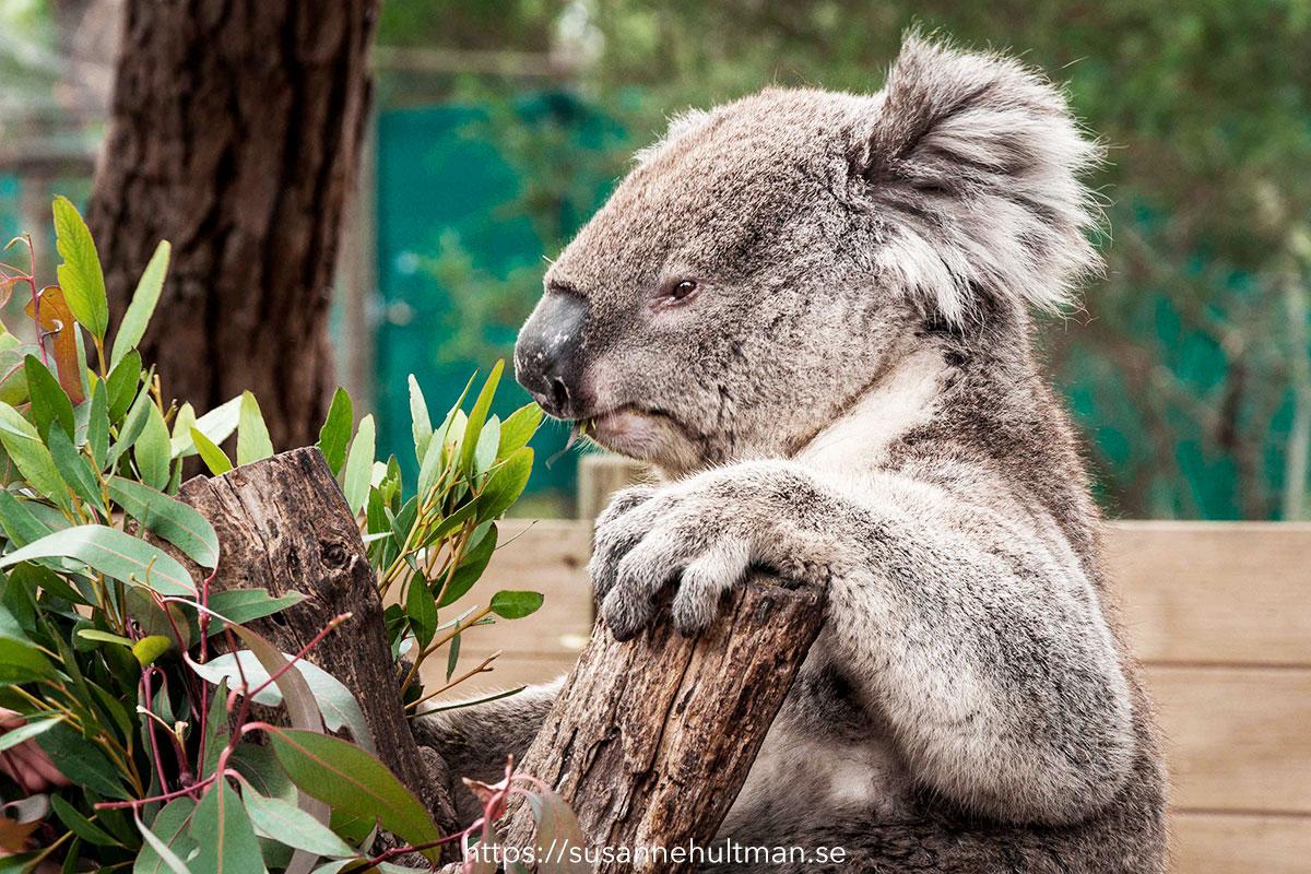 Koala i träd.